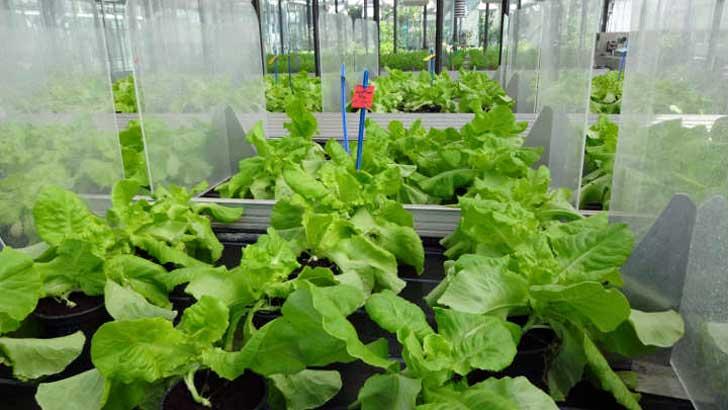 Salat im Gewächshaus