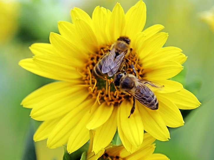 Silphie mit Bienen