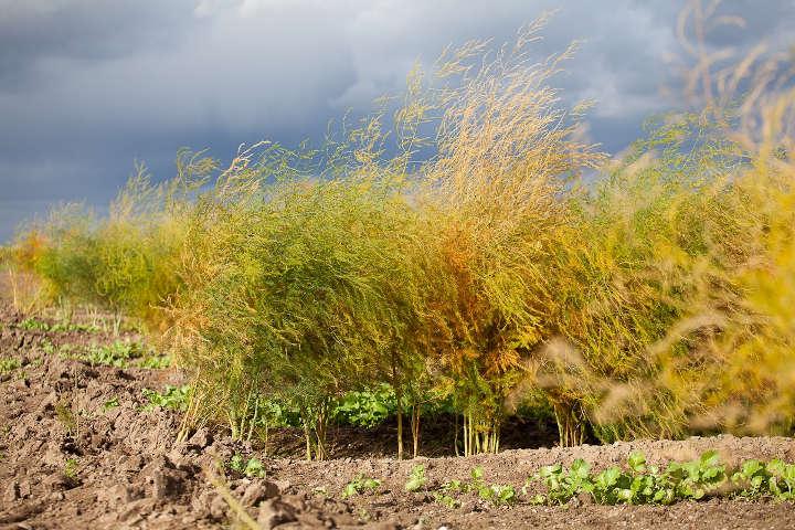 Gelbes Spargellaub verheißt eine gute Ernte im nächsten Jahr