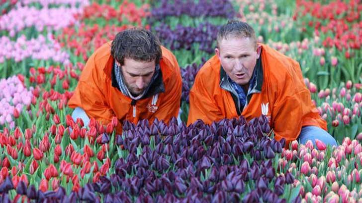 Es ist wieder Tulpenzeit – So machen die Niederländer Lust auf Schnittblumen