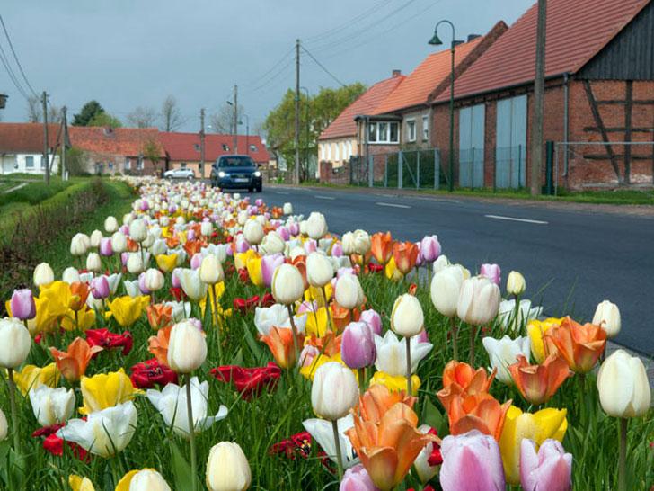 Verver -Blumenzwiebeln
