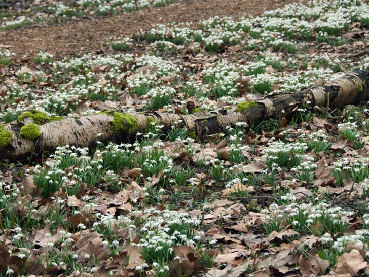 Verver-Blumenzwiebeln