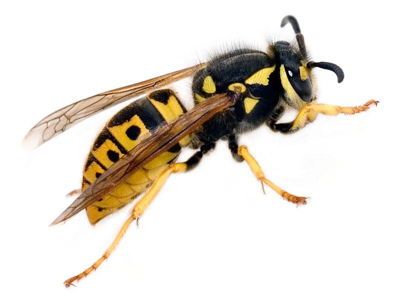 huml warnt vor gefahren durch bienen und wespenstiche. Black Bedroom Furniture Sets. Home Design Ideas